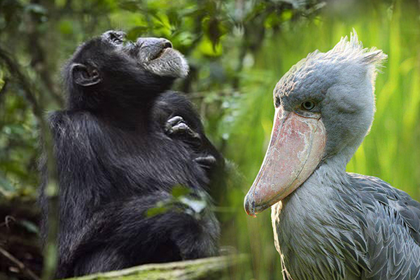 Chimpanzee and Shoebill Stork targets in Uganda